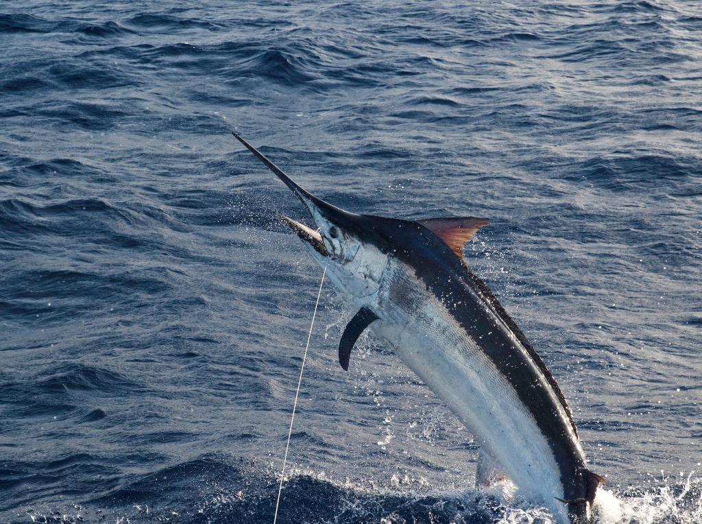 Image of swordfish, animal, fish, sea life